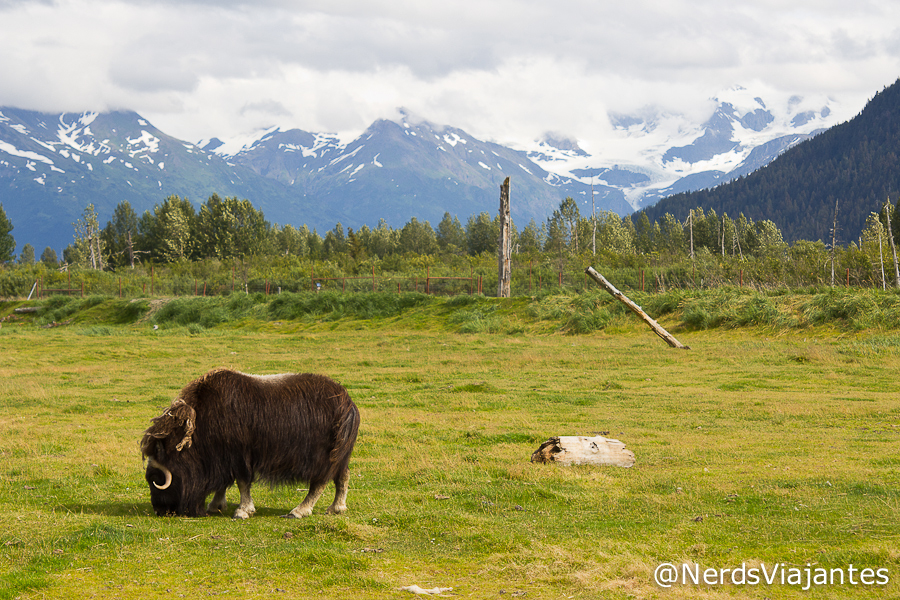 Musk Ox - Alaska Wildlife Conservation Center - Alasca - Estados Unidos