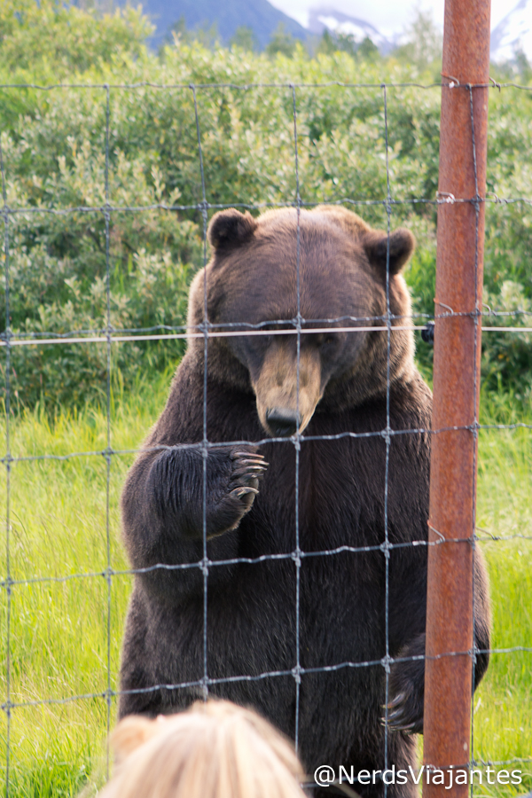Urso - Alaska Wildlife Conservation Center - Alasca - Estados Unidos