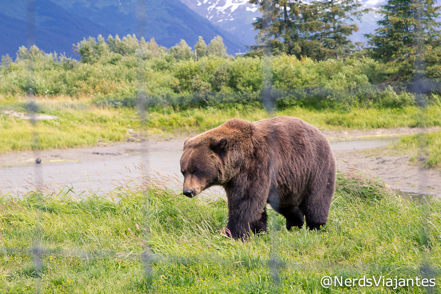 Urso grizzly no Alaska WIldlife Conservation Center - Alasca
