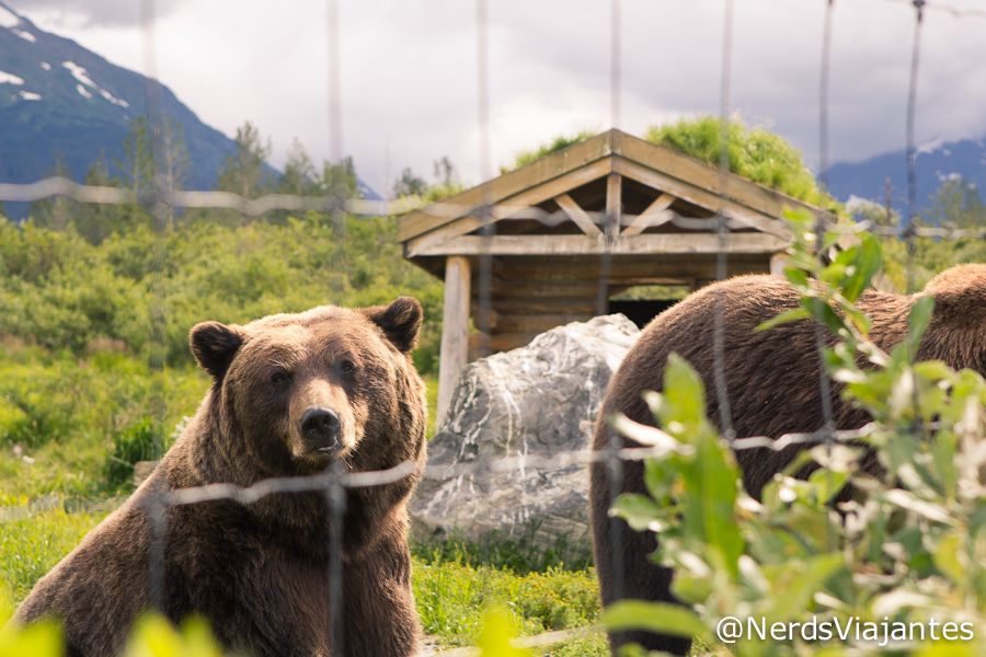Ursos - Alaska Wildlife Conservation Center - Alasca - Estados Unidos