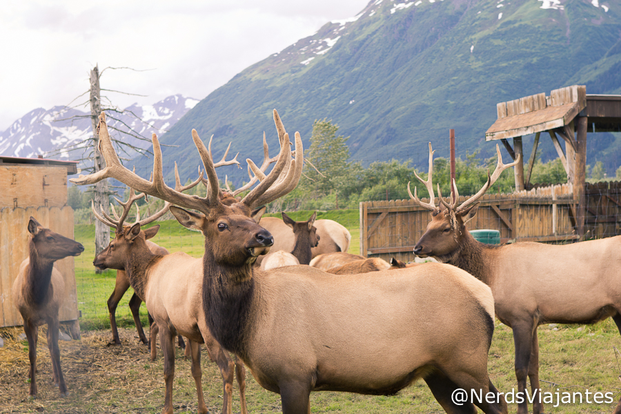 Elks - Alaska Wildlife Conservation Center - Alasca - Estados Unidos