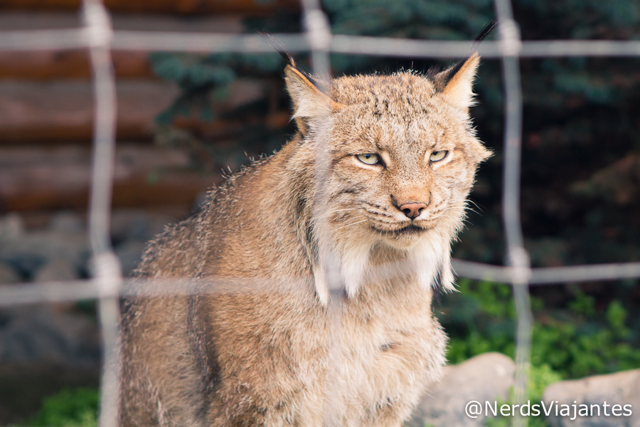 Lince - Alaska Wildlife Conservation Center - Alasca - Estados Unidos