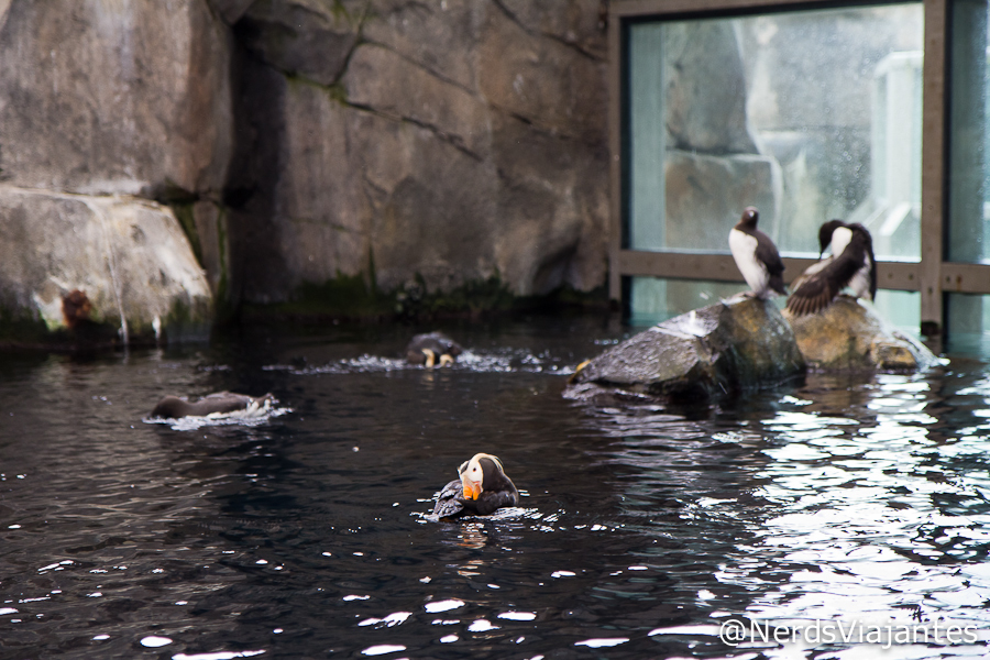 Puffins no Alaska SeaLife Center