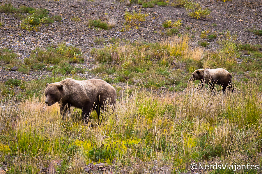 Ursos grizzly no Denali National Park