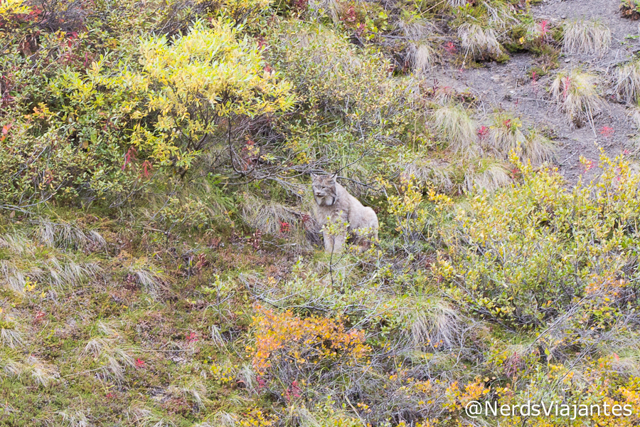 Lince no Denali National Park