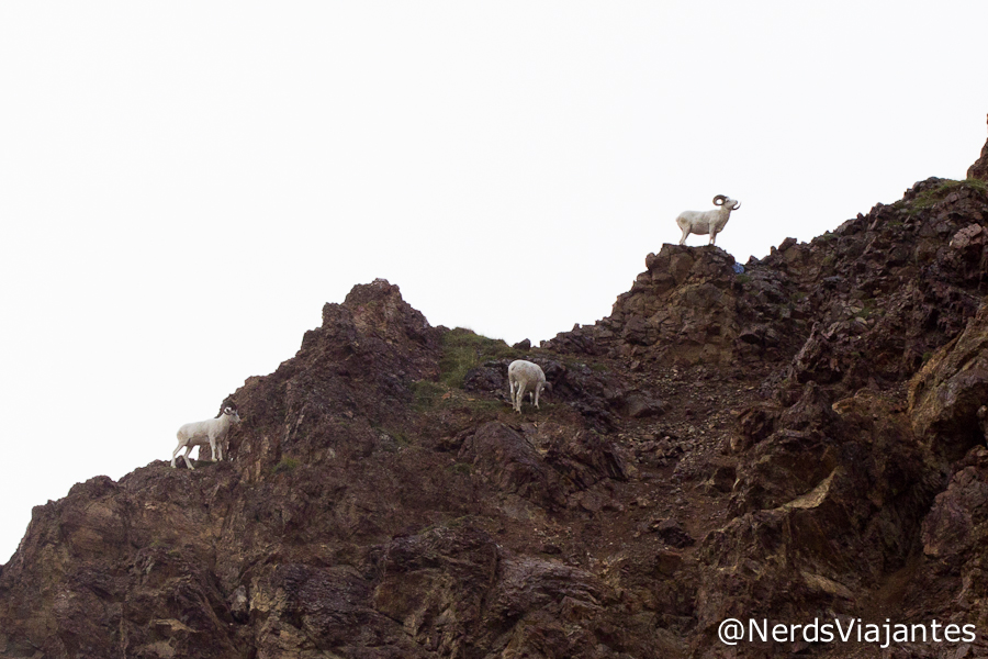 Dall sheeps no alto da montanha do Denali National Park
