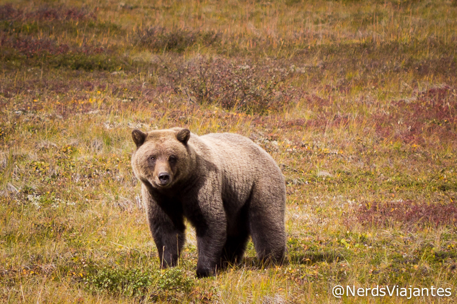 Urso no Denali National Park