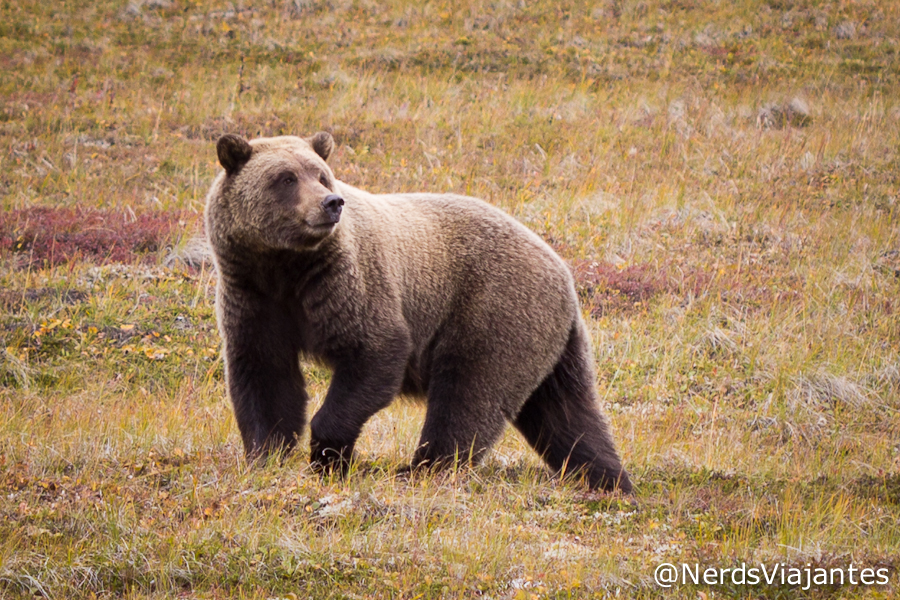 Urso grizzly no Denali National Park - Alasca