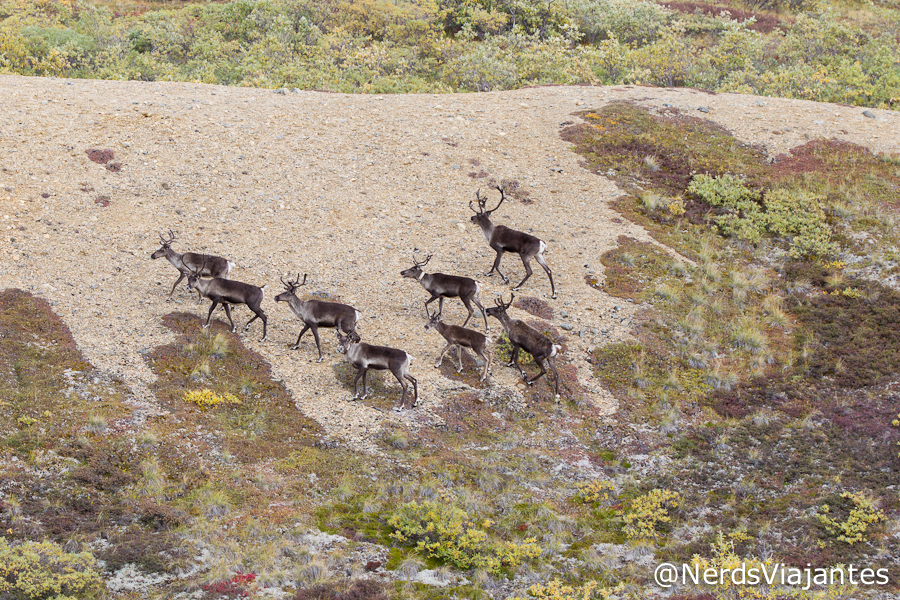 Caribous no Denali National Park