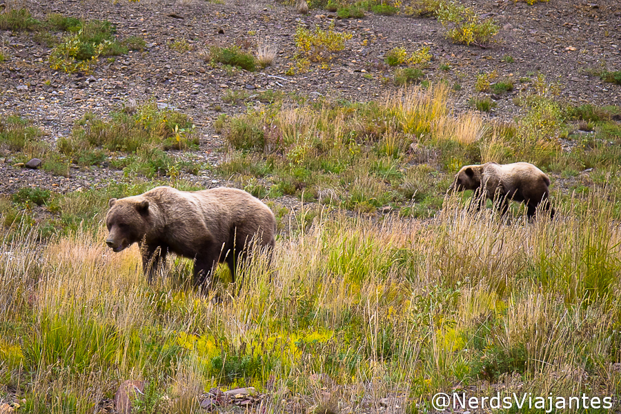 Ursos grizzlies no Denali National Park - Alasca