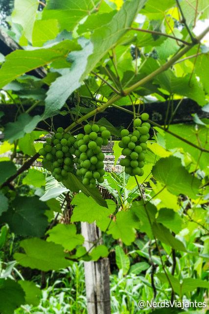 Uvas da Adega Elias Lobão em Catas Altas - Minas Gerais